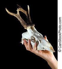 Deer skull - Skull of a deer in the female hand on a black...