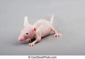 hairless mouse - hairless laboratory mouse isolated on grey...