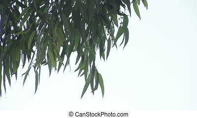eucalyptus leaves with copy space - eucalyptus foliage seen...