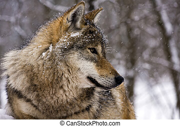 European gray wolf Canis lupus in winter