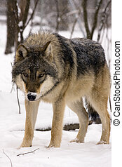 European gray wolf (Canis lupus) in winter
