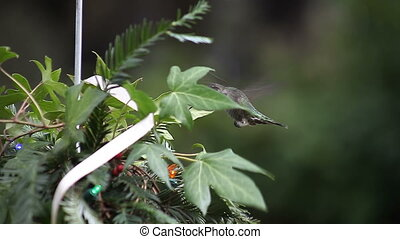 Christmas greenery with hummingbird - hummingbird finds food...