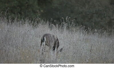 deer family feeding - a doe and two juvenile deer feed in a...