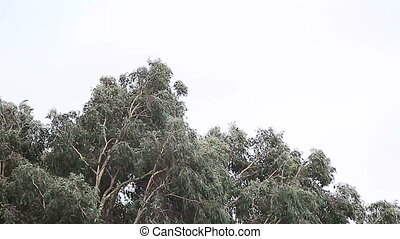 eucalyptus tree in a storm - an approaching storm whips a...