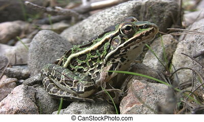 Northern leopard frog. - A beautiful spotted leopard frog....