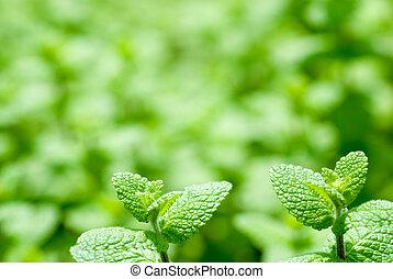 Spearmint leaves - Fresh green spearmint leaves in the field