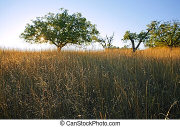 Savanna-like grassland in Northern California in late afternoon light