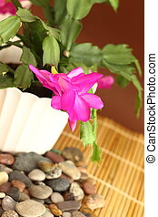 Christmas cactus - Blossoming Schlumbergera also known as...