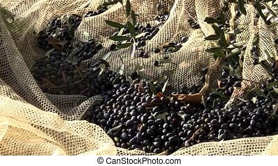 The olive harvest - Video clips on the collection of olives...