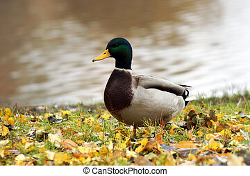 Wild duck on the bank of a pond