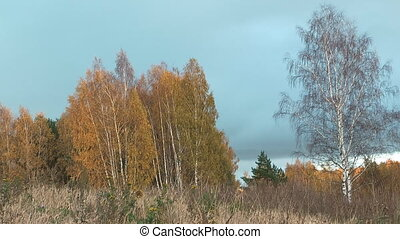 Autumn. - Autumn landscape with birch trees.