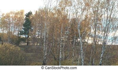 Autumn birch - Autumn landscape with birch trees
