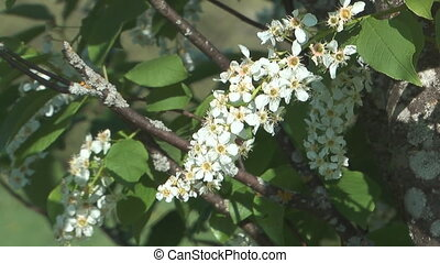 Bird cherry. - Bush of a blossoming bird cherry.
