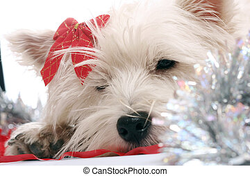 Westie - White puppy with red bow