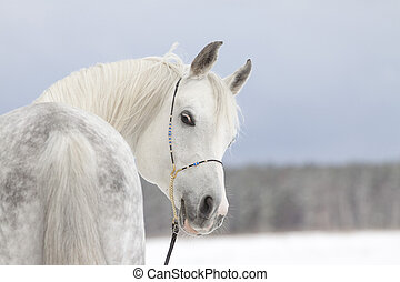 arab stallion in a winter