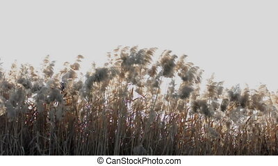 Waving yellow high grasses in the f