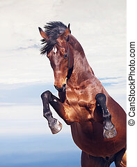 bay horse rearing at sky background - bay horse rearing at...