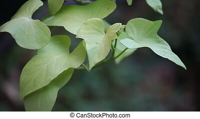 heart-shaped leaves background - distinctive leaves of the...