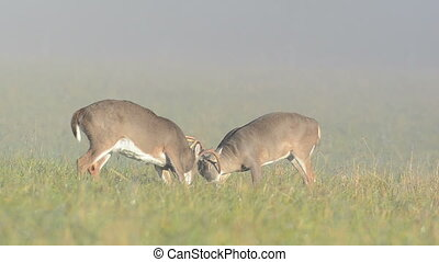 Two whitetail deer bucks sparring o