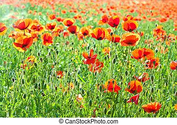 beautiful poppy flowers in the meadow - beautiful poppy...