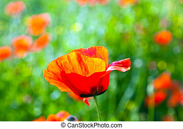 beautiful poppy flowers in the meadow - beautiful poppy...