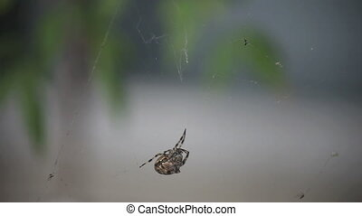 spider disturbed - a large spider moves away when its web is...