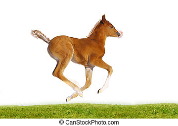 purebred arab filly isolated