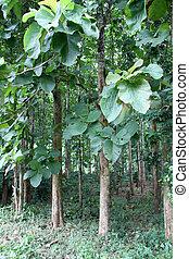 Teak wood - Dense teak wood forest near Luang Prabang, Laos
