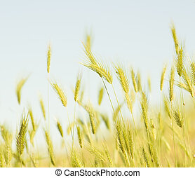 wheat field. - yellow wheat field. Nature composition.