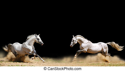 two stallions