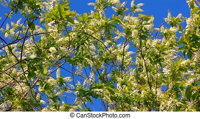 blossom bird cherry tree branches