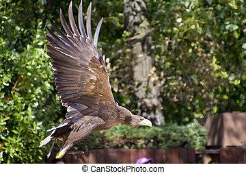 águia, voando,  Imperial