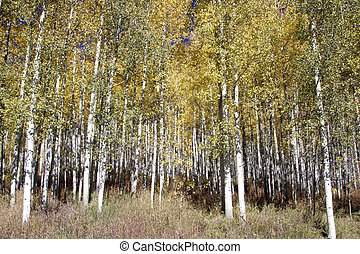Aspen Grove in Fall - aspen leaves flutter in a golden fall...
