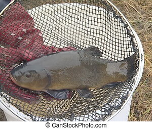 Big fish tench in posing for camera