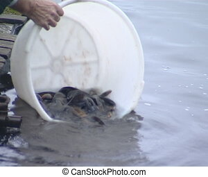 Fish breeded in captivity released - Fish breeding industry....