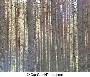 Sunlight through coniferous trees