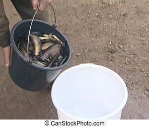 Tench breeding industry. - Bucket full of live tench fish is...