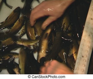 Fish tench breeding industry. - Tench breeding industry....