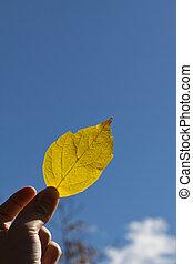 藍色, 葉子, 天空, 針對