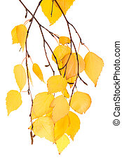 leaf birches isolated - Branch with the turned yellow leaves...