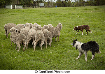 Sheep Herding - Two Australian sheep dogs hard at work