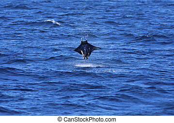 Manta ray jumping out of the water on Galapagos