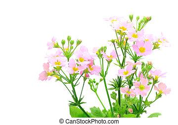 primrose - I took a primrose in a white background.