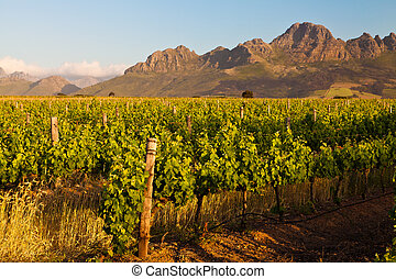 Vineyard in the hills of South Africa - Vineyard in the...