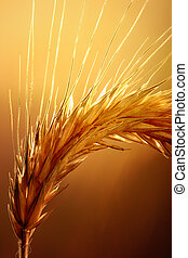 Wheat macro - Macro of wheat against strong and warm...