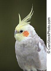 cockatiel, oiseau