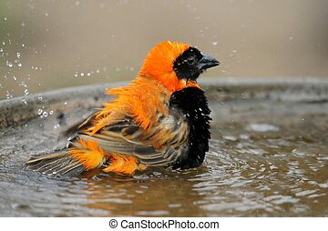 Bird Bathing - Bishop bird with bright orange and black...
