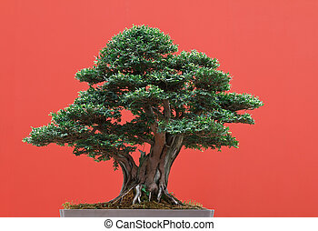 Yew bonsai - high quality Taxus bonsai over red background