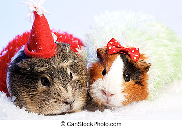 Funny Animals Guinea pig Christmas portrait