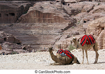 Camels - Two camels and roman theater in Petra, Jordan...